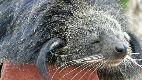 close Close up Binturong, Bearcat (Arctictis binturong)