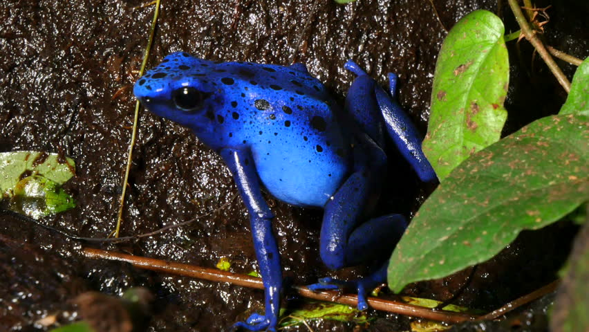 Azureus Dendrobates Tinctotius Blue Poison Dart Frog. These amphibians are known as dart frogs because indigenous people use the frog's poison for blow darts and arrow poison.
