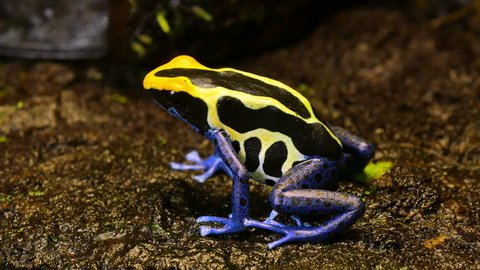 Blue and Yellow Poison Dart Frog Couple. These amphibians are known as dart frogs because indigenous people use the frog's poison for blow darts and arrow poison. All wild dart frogs secrete toxins.