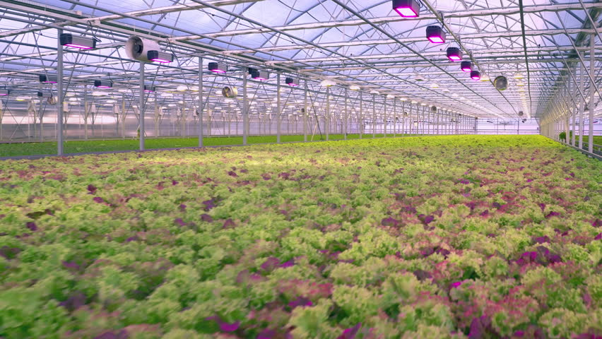 Aerial - Fresh organic lettuce growing in a greenhouse