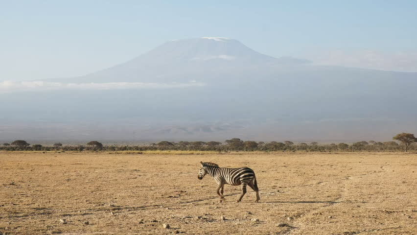 a zebra walks across the plain with mt kilimanjaro in the distance at amboseli, national park in kenya