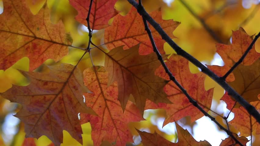 The Red and Yellow Leaves Swaying on the Wind.  | Shutterstock HD Video #23384227