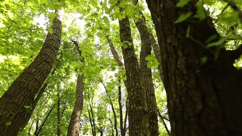 Liquidambar orientalis. Morning in a birch forest