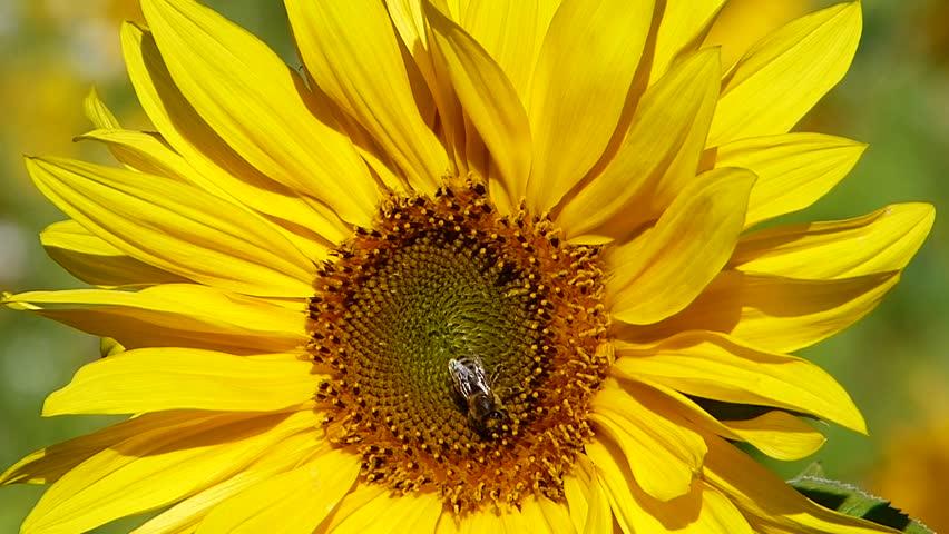 Sunflowers in the autumn | Shutterstock HD Video #23432947