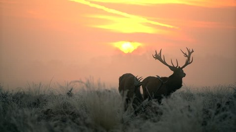 Red deer in the morning sun