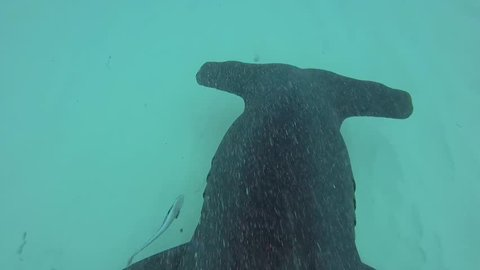 Great Hammerhead Shark FIN CAM POV 2