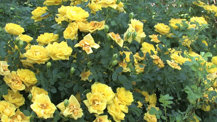 Yellow rose free video clips 382 free downloads flower giving wild yellow roses planted by pioneer farmers in the late 1800s mightylinksfo