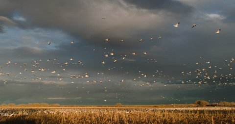 This is a shot of thousands of snow geese flying over golden fields. Shot on a BMCC