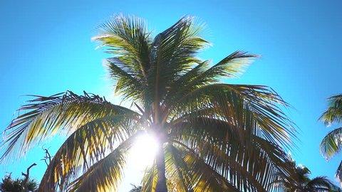 Coconut palms on the beach of Varadero, Cuba resort.