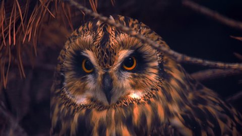 Owl sits in the shadows among the branches, turns his head and looks by large colorful eyes directly into the camera. Several options color correction