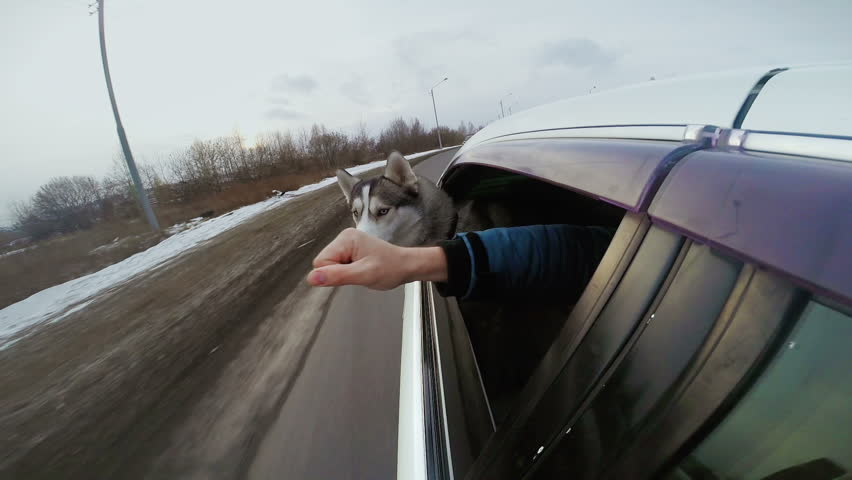 Friendship Huskies And Human Hand Man And Dog Peer Out Of Car