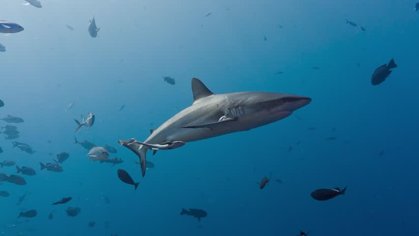 Shark swims at and past camera