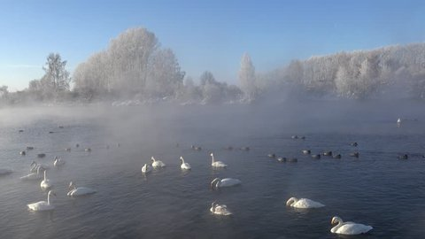 Swans Cygnus cygnus on Altai lake Svetloe in the evaporation mist  at morning time in winter
