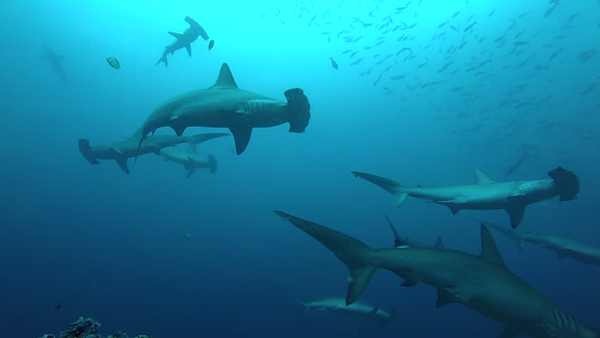 School of hammerhead sharks swimming in the blue - underwater shot #23644447