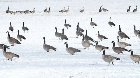 Dozens of Canadian Geese walking through a snow-covered field in slow motion. HD 1080p. Part 1 of 3.