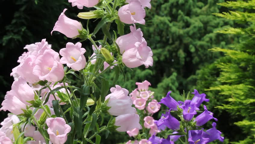 Pink summer flower blooming on day noon light fade in and fade out bell shaped flower hd stock footage clip mightylinksfo
