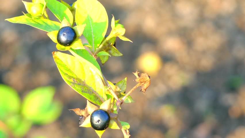Белладонна и чернокожая