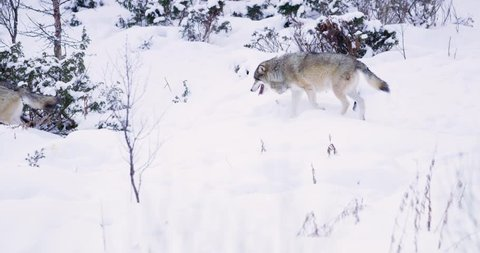 Two wolves patrolling pack territory in dense winter forest