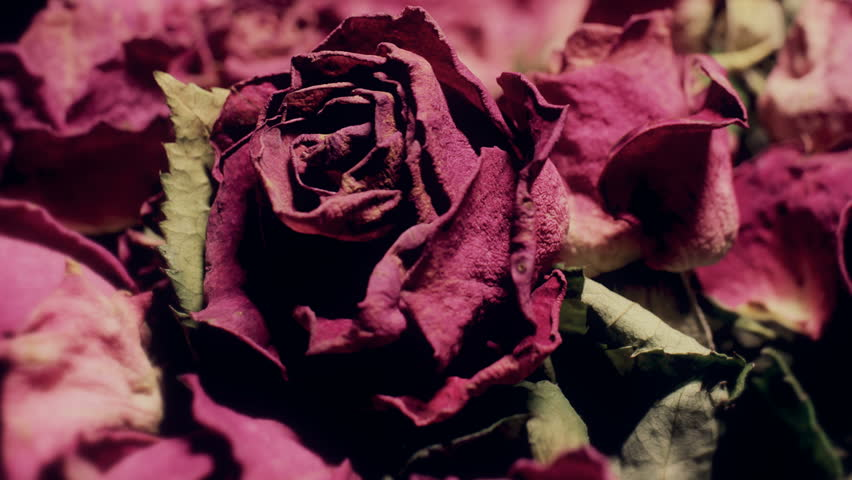 Close up shallow depth of field motion time lapse shot of vivid pink roses drying up and turning purple as they die.