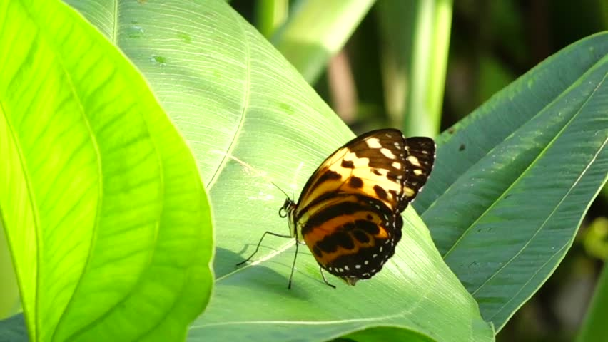 Header of Nymphalidae
