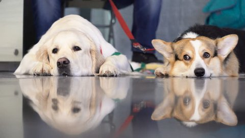 Image of golden retriever and welsh corgi lying and reflecting on glossy floor near the male owner and looking at camera closeup. Concept of friendship and warmth of closeness. Dog exhibition close up