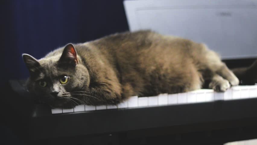 Fat Blue British cat lying on synthesizer keyboard. Big grey cat resting on Piano keyboard