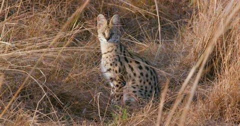 Serval Cat In Long Grass; Maasai Mara Kenya Africa