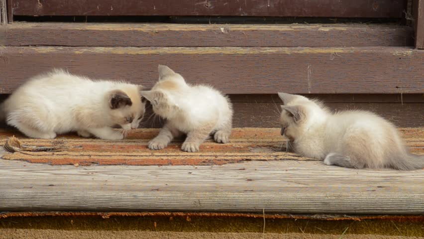 Adorable feral siamese cross kittens playing in the sun on old shed steps