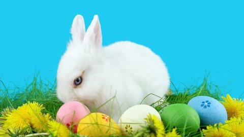 Easter white bunny with Easter eggs, eating a dandelion in green grass, ready to be keyed
