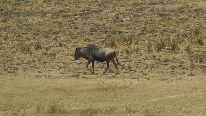 Female lion attacking a wildebeest