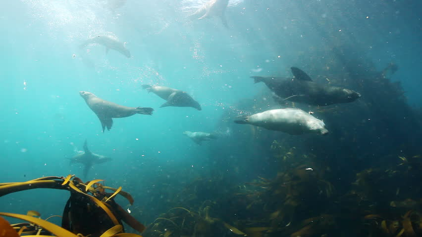 Playful cape fur seals swimming among the giant kelp in waters surrounding colony at Duiker Island outside the Hout Bay harbour in the Atlantic ocean along the West Coast of Cape Town, South Africa