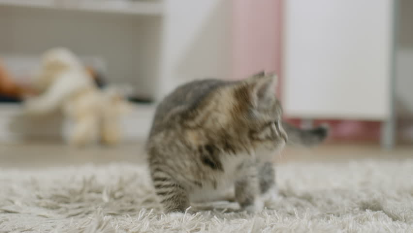 Scared Black Striped Kitten Arches His Back and Hisses. Shot on RED EPIC-W 8K Helium Cinema Camera.