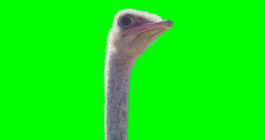 Green screen shot of a curious ostrich. Looks to the camera and goes away.