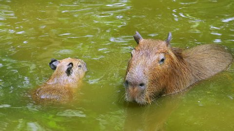 Adult capybara (Hydrochoerus hydrochaeris) swims in freshwater pond with its little baby. Mother and child rodents wallowing in muddy water. Touching wildlife scene. Parenting concept. Top view.