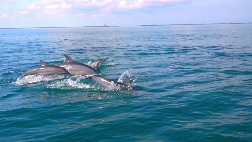 Several Spinner Dolphins swimming fast, porpoising, jumping out of water, hunting tuna. Beautiful and intelligent marine animals chasing fish during morning hunt. Sri Lanka. Side view. Slow motion. #24323447