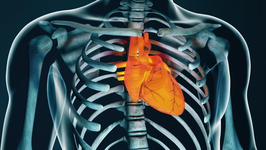 4k Human Body Transparent Heart Modern Anatomical 3d Animation Stock