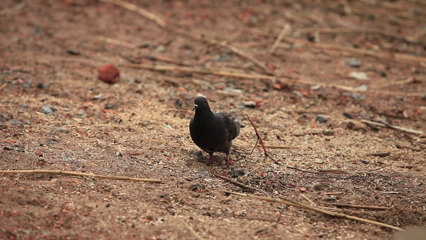 Black dove walking along the sandy shore | Shutterstock HD Video #2434007