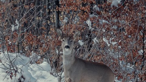 Male European Roe Deer (Capreolus capreolus) on snowy mountain meadow. Winter in the forest.