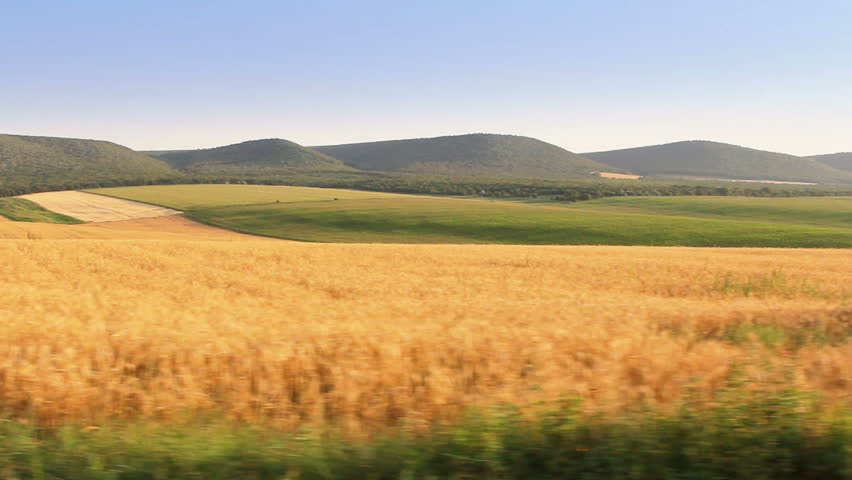 Wheat field. Steady footage shot from the car