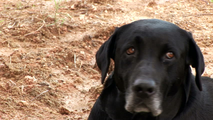 Old black lab slightly annoyed by a pesky fly.