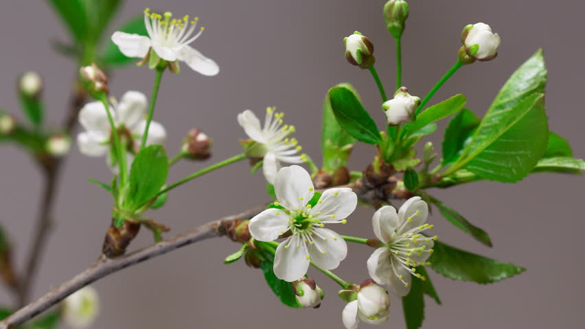 Cherry flowers blossoming time-lapse - macro blossom grow closeup - Closeup of green twig with cherry flowers blossom on gray background