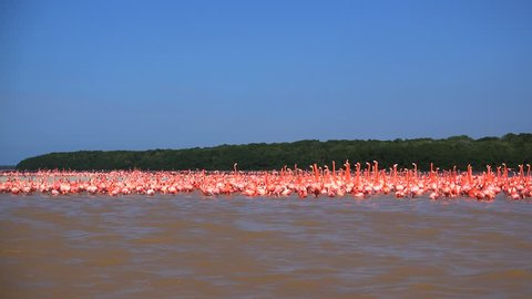 very huge crowd or swarm of free flamingo birds in the mangroves of eastern Mexico
