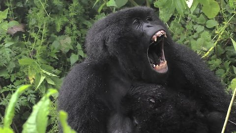 The Critically Endangered Mountain Gorilla Seen Here Yawning and with Newborn Baby in Virunga Mountains, Rwanda. This is the Susa Group, which was studied by Dian Fossey.