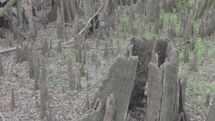 cypress flat with knees and old handcut stumps from the early 1900's
