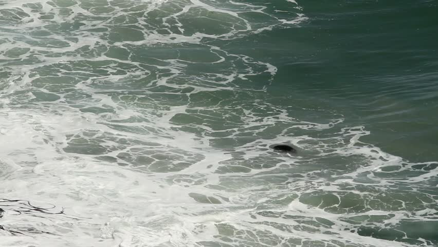 new zealand fur seal swims in foamy waves close to cliffs.