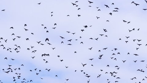 4K. Flock of birds, crows swarming against a blue sky with clouds.