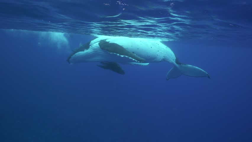 Humpback whales, mother and calf in clear water around the island of Tahiti #24836897