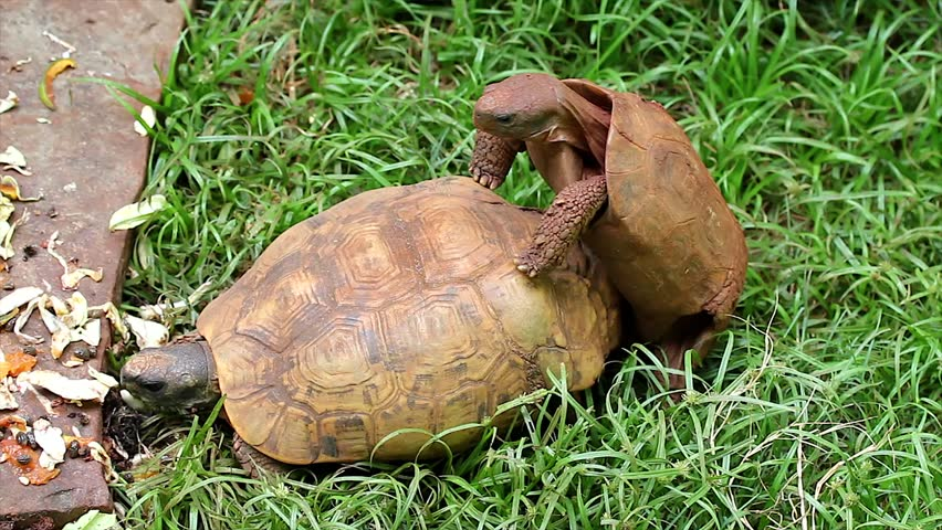 Two Tortoises (of different species) Mating in Kenya, Africa. Copulation is a difficult endeavour for these animals, as the shells make mounting extremely awkward.