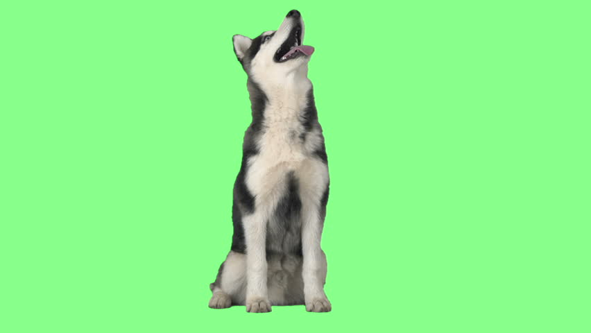 Funny husky sitting and looking up on green screen #24914057