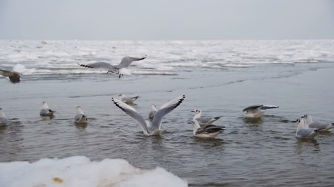 Group Of Seagulls Diving And Fighting For Food In Winter Ice Covered Sea Slow Motion 96 Fps Flock Hungry Flying Above The Water Eat A